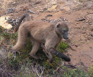 Cape Chacma Baboon, Cape of Good Hope