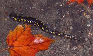 Spotted Salamander, Cantley, Quebec