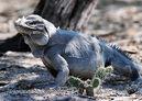 Rhinoceros-iguana--xxxcyclura cornuta 6