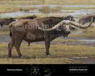 Pelorovis-antiquus-2015-738x591