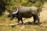 African-water-buffalo