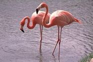 Greater Flamingo (African Animals)