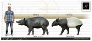 Asian African Tapir Size