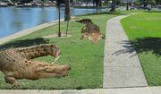 Marysville's-Crocodiles
