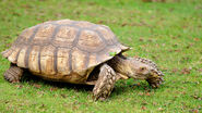 California-African-spurred-tortoise