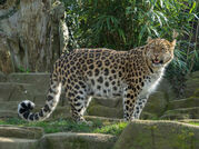 Irish Leopard