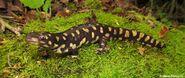 Tiger Salamander-Florida