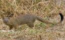 2009-slender-mongoose