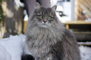 Grey-siberia-cat-photo