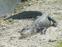 Alligator mississippiensis, Homestead, 20020508