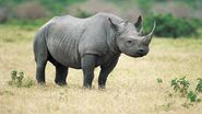 American Black Rhinoceros