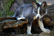 Piebald fox kit luz rovira