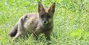 Red fox netherlands wildlife