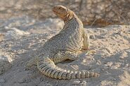 California Spiny-Tailed Lizard