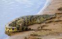 Crocodile-African-2013-01