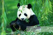 Scottish Panda