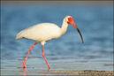 White-ibis-adult-foraging-beach 2565