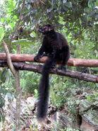 Black Lemur Lemur