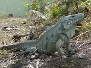 California-Grand-Cayman-blue-iguana