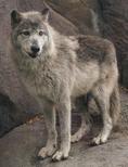 Manitoba wolf
