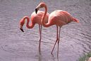 Greater-Flamingo-Images