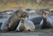 Northern-elephant-seals-mirounga-angustirostris-on-beach-california-usa-683749779-583df26e5f9b58d5b15cb1ba