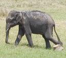 Sicilian Dwarf Elephant