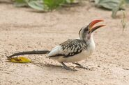 African grey red-billed hornbill hybrid