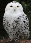 220px-Snowy Owl - Schnee-Eule