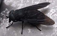 Black horse fly bob