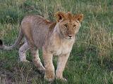 Pygmy Lion