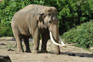 Asian-elephant2