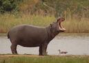 Hippo102