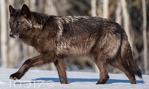 Interior Alaskan wolf