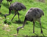 Greater rhea pair arp