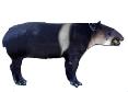 Ringed Tapir