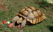 Geochelone sulcata -Oakland Zoo -feeding-8a