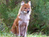 Domestic Dhole (My Version)