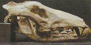 Cetofelis Skull
