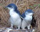 Little blue penguin2