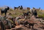 Phil-Johns feral-goats-web