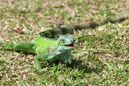 Green-iguana-iguana