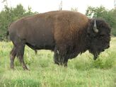 American bison images 02
