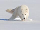 Antarctican Wolf