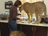 Domestic Cheetah
