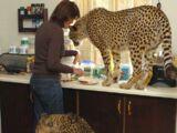 Domestic Cheetah