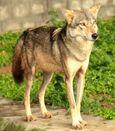 Canis lupus pallipes Mysore Zoo 1