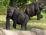 Gorillas In North America