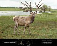 Eucladocerus-738x591