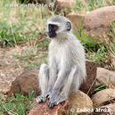 Vervet-monkey-05a09077